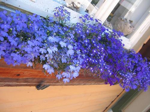 plantas de jardim lista : plantas de jardim lista:flores jardim lobélia