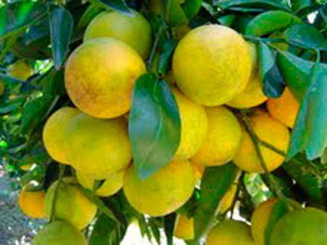 muda laranja trepadeira enxertada saborosa e rica vitamina c