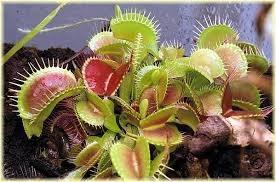 plantas carnívoras mudas dionaea droseras papa mosca