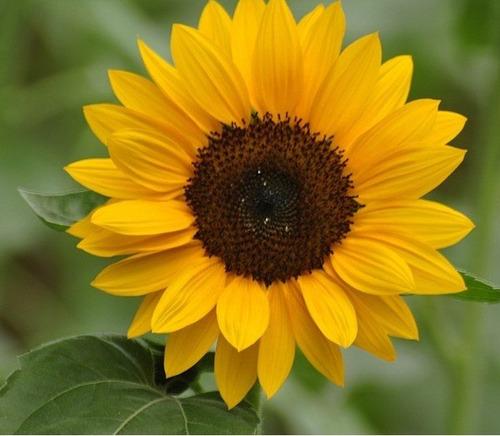 flores de jardim todo o anoSementes Da Flor Girassol Anão De Jardim
