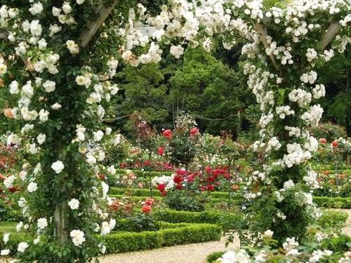 plantas de jardim lista : plantas de jardim lista: Chinensis Trepadeira – Flor Jardim Planta – R$ 8,90 em Mercado Livre